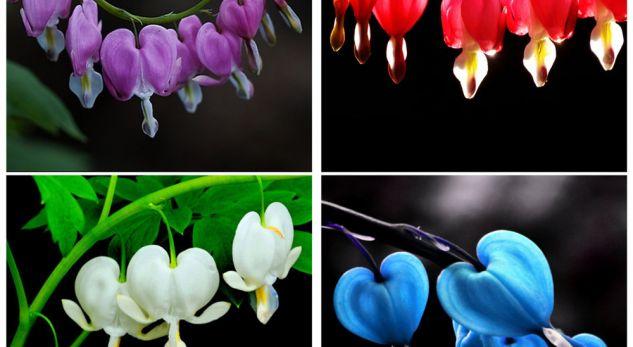 Lulja magjike që shëron zemrat dhe mendjet