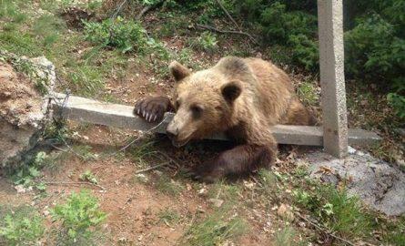 Ja si shpëtohet ariu në malin e Strugës (VIDEO)
