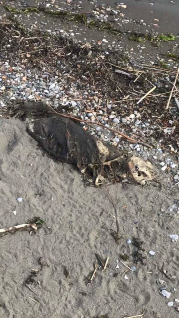 E rëndë: Një qen i ngordhur në plazhin e liqenit të Strugës (FOTO)