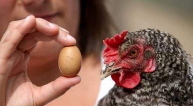 Ja si mund t'i dalloni vezët nëse janë nga pulat e sëmura