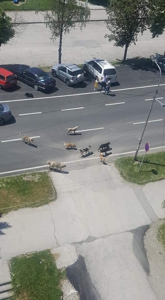 Ata që i sjellin qentë endacak në Strugë, të denoncohen! Rrezik i madh për qytetarët