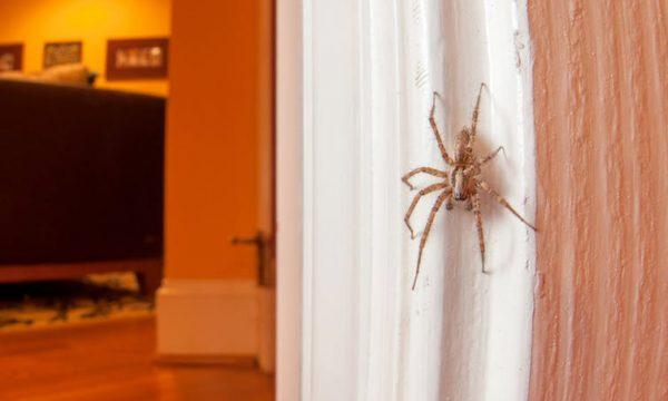 Ja pse nuk duhet t'i mbytni merimangat në shtëpi