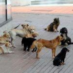 Problemi me qentë endacak, rrezikohen kalimtarët (VIDEO)