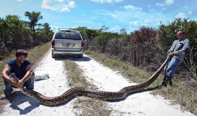 Një piton prej 5.7 metra i gjatë kapet në Florida (VIDEO)